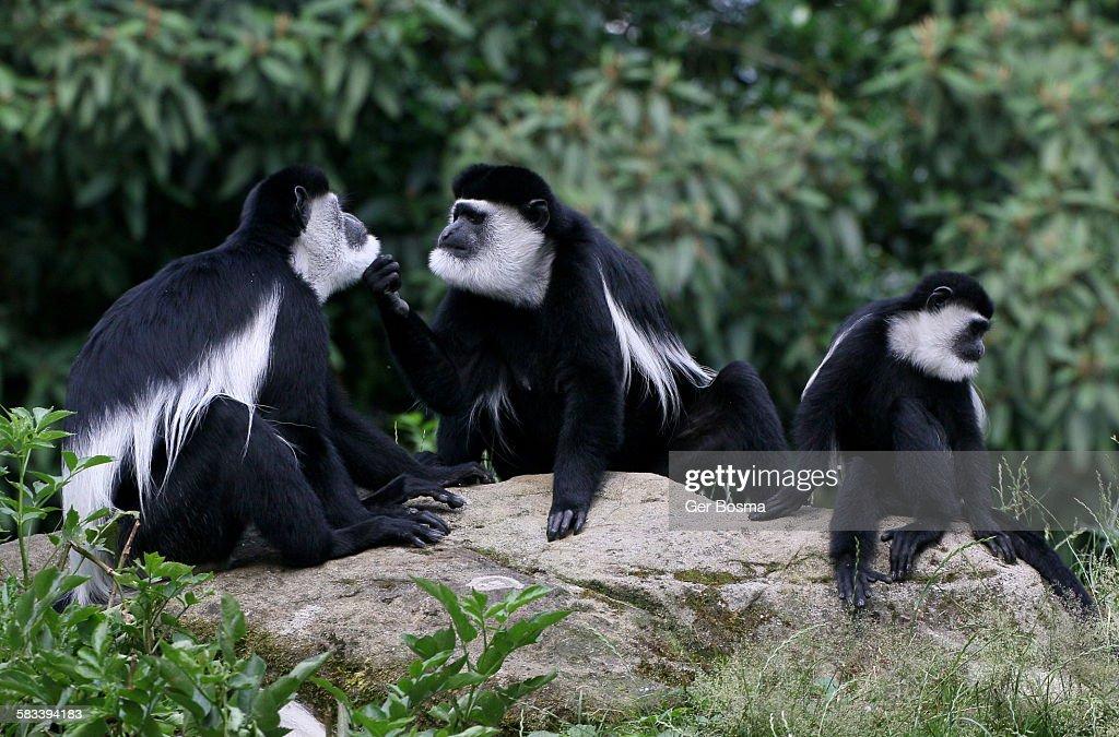 Black and white Colobus Family : Stock Photo