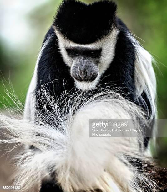 Black and White Colobus Fixing Tail in Lake Naivasha, Kenya