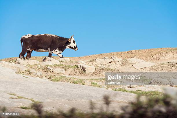 black and white color cow on rocky highland - leren stock pictures, royalty-free photos & images