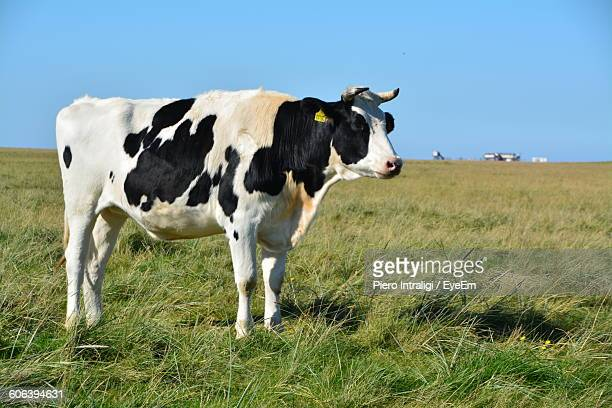 Black And White Cow Standing On Grassy Field Against Sky