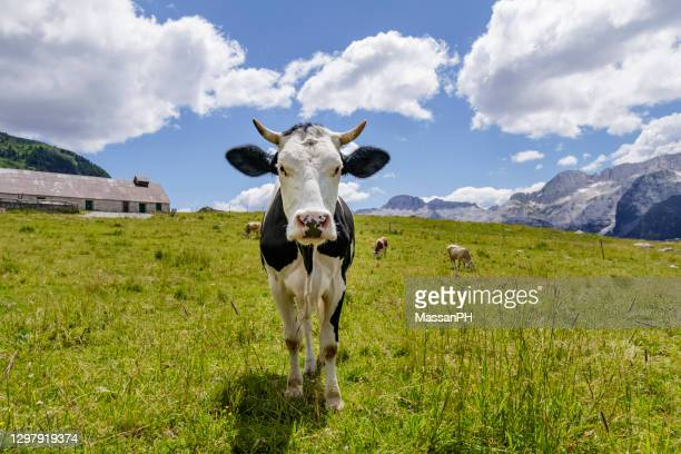 black and white cow staring directly in camera in an alpine pasture with mountain in the background under a blue and cluody sky - clima alpino foto e immagini stock