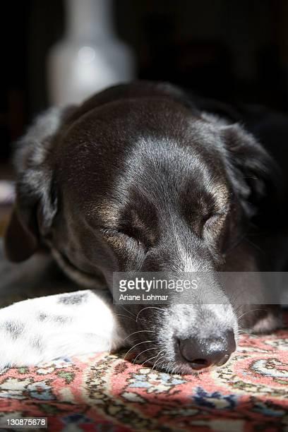 black and white crossbreed dog, female, dozing on a rug in the sun - human face foto e immagini stock