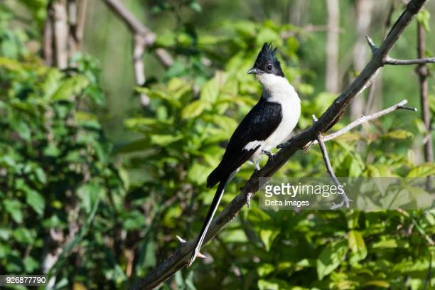A black and white cuckoo (Oxylophus jacobinus) perching on tree branch, Tsavo, Kenya