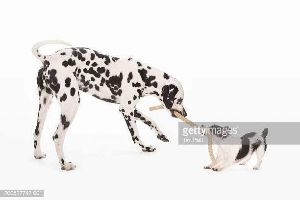 Black and white Dalmatian and Jack Russell Terrier pulling rope in studio