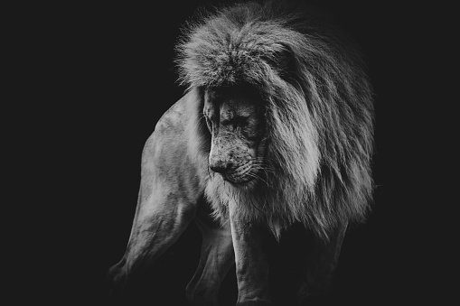 black and white dark portrait of a African lion 1157601147