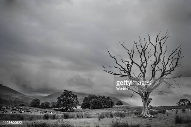 a black and white dead tree - death stock pictures, royalty-free photos & images