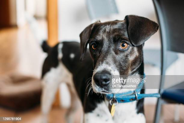 black and white dog portrait wearing a blue collar - collar stock pictures, royalty-free photos & images