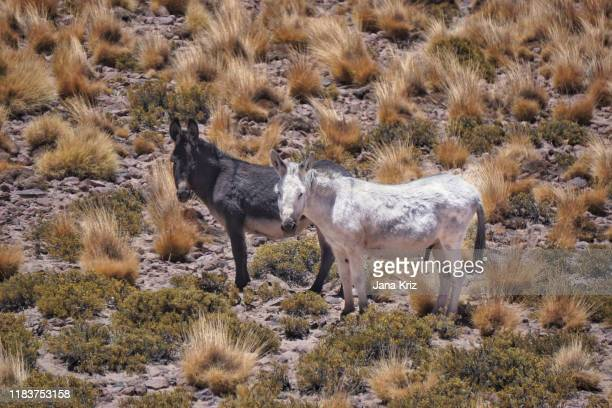 black and white donkeys of atacama desert in chile, in the mountains with high altitude grasses. - democratic party stock pictures, royalty-free photos & images