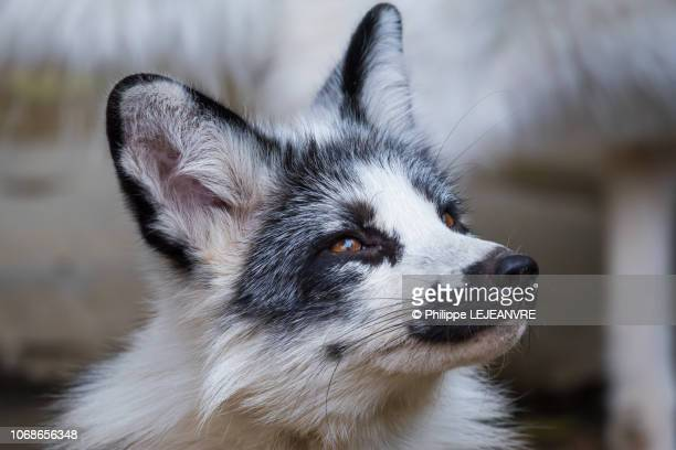 Black and white fox portrait