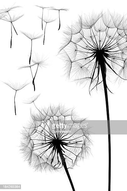 Black and white graphic image of a dandelion in seed