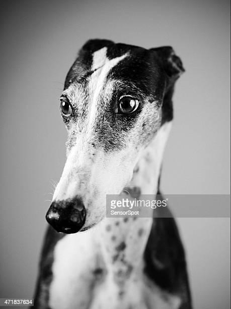 Noir et blanc portrait de greyhound.