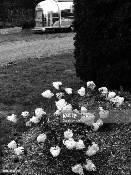 black and white hydrangea with airstream in background - black and white instant print stock pictures, royalty-free photos & images