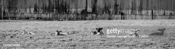 black and white image of five lambs lying in a row - medium group of animals stock pictures, royalty-free photos & images