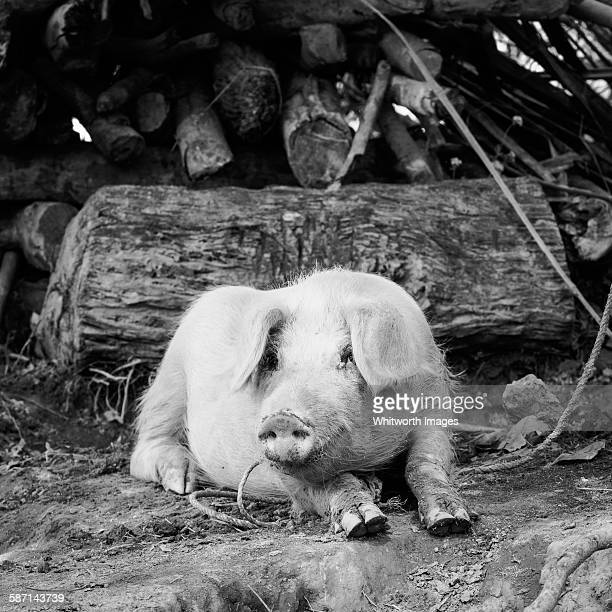 black and white image of pig in rural nepal - terai stock pictures, royalty-free photos & images