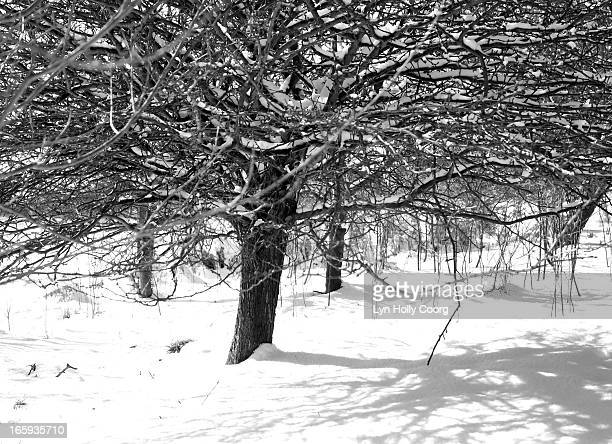 black and white image of snow covered tree - lyn holly coorg stock photos and pictures
