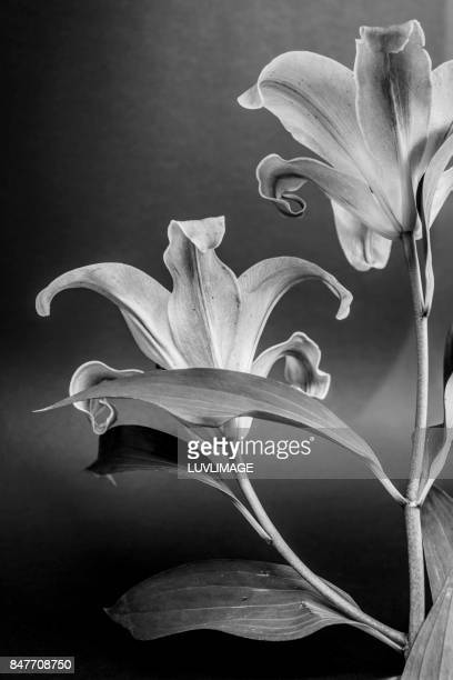 Black and white image with two lilies.