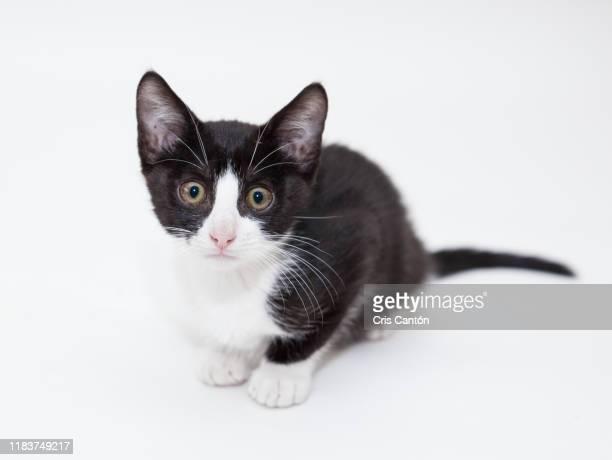 black and white kitten - cris cantón photography fotografías e imágenes de stock