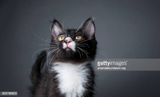 Black and White Kitten - The Amanda Collection