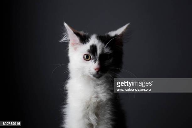 black and white kitten - the amanda collection - amandafoundationcollection stock pictures, royalty-free photos & images