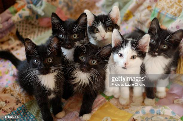 black and white kittens on quilt - young animal stock pictures, royalty-free photos & images