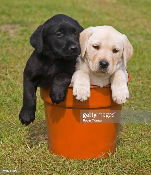 black and white labrador puppies in flower pot - 2匹 ストックフォトと画像