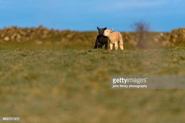 black and white lambs playing in the early morning frost in the lake district national park. uk. - blencathra stock photos and pictures