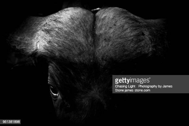 Black and white low-key portrait of an African Buffalo