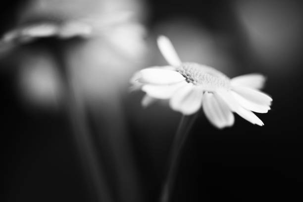 Free Black And White Flower Background Images Pictures And Royalty