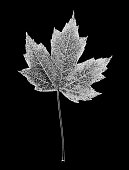 single autumnal maple leaf cclour manipulated