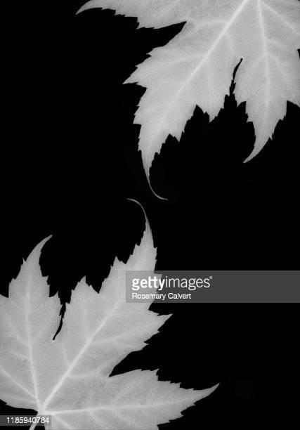 part black white maple leaves black