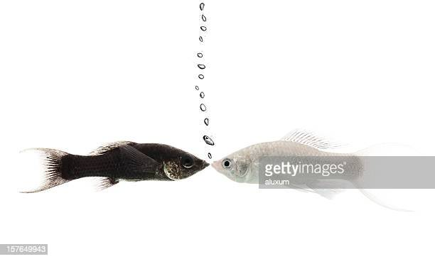 black and white molly fish kissing