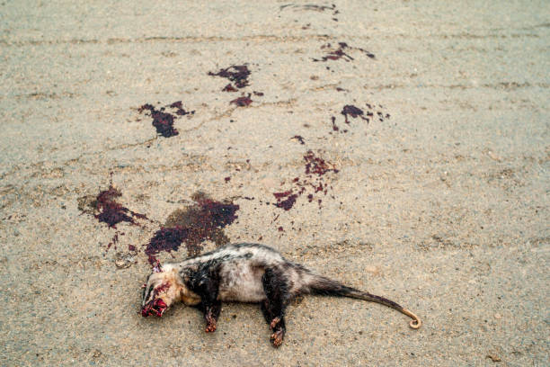 Black and White Opossum South American Marsupial of the order Didelphimorphia Killed on the Road with Splashes of Dry Blood Around