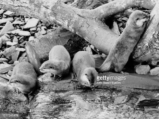 black and white otters. - alex reed stock pictures, royalty-free photos & images