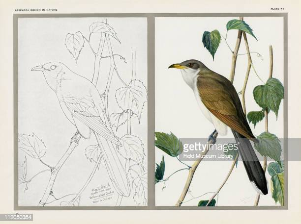 Black And White Pencil Sketch Color Drawing Of The YellowBilled Cuckoo Bird Mid 1920s