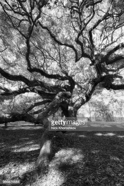 Black and white photo of Angel Oak Tree