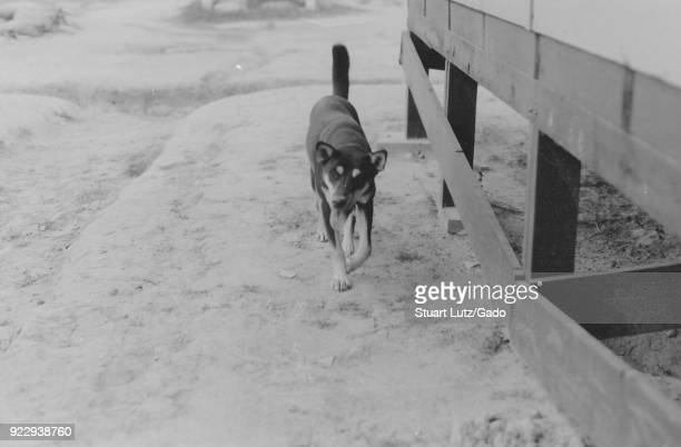 Black and white photograph showing a mediumsized shorthaired dog looking at the camera as he walks on snowcovered ground past the foundation of a...