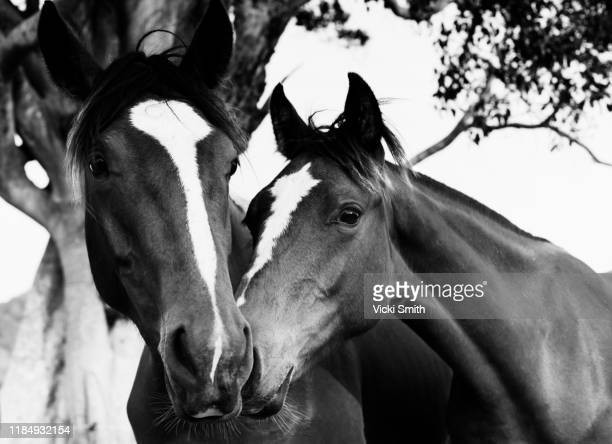 black and white picture of two horses together with noses touching - young hairy pics stock photos and pictures