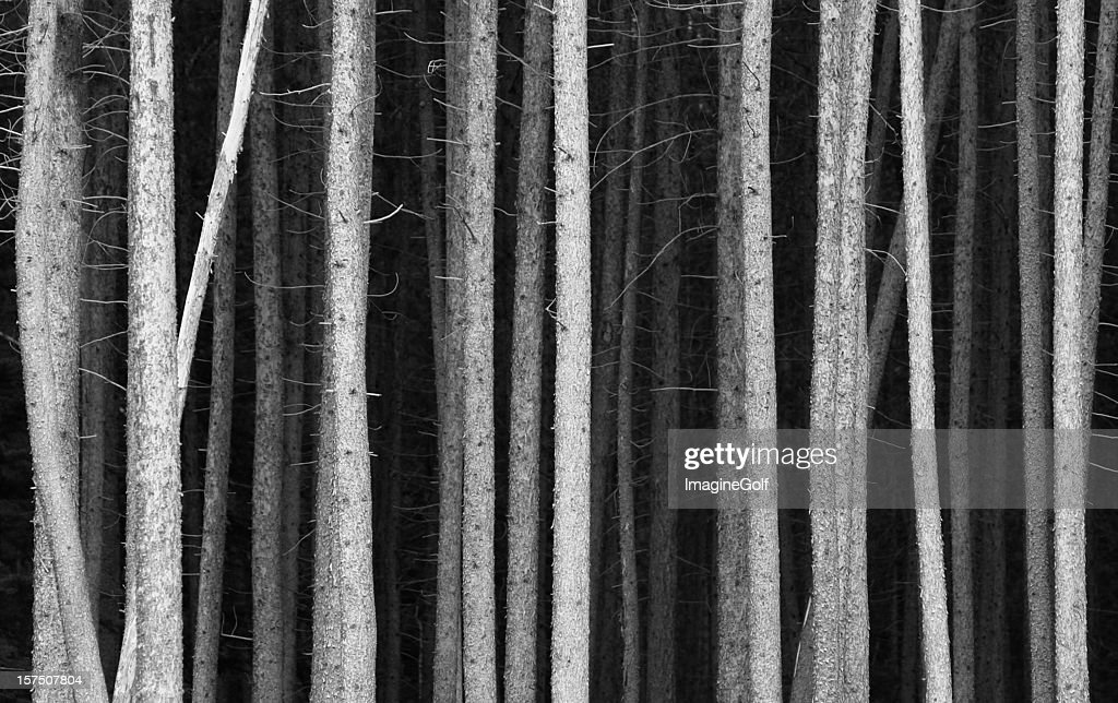 Black and White Pine Tree Trunks Background : Stock Photo