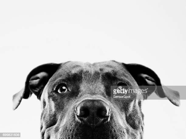 Black and white pit bull dog studio portrait