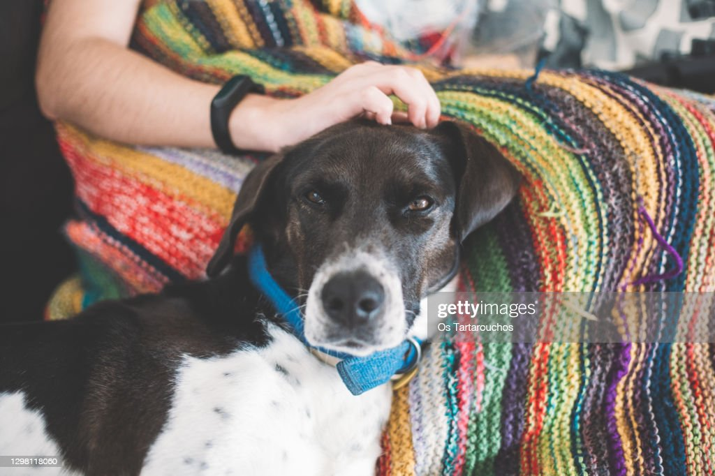 black and white pointer dog resting on a sofa on a colorful knitted blanket being pet by a human : Stock Photo