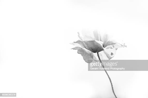 black and white poppy - oriental poppy stock pictures, royalty-free photos & images