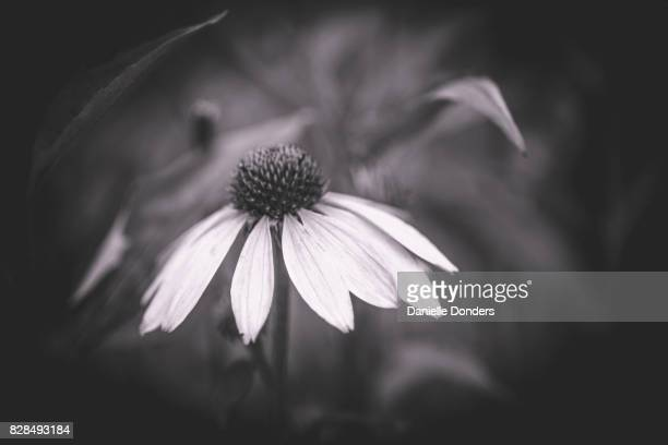 Black and white portrait of a coneflower blossom