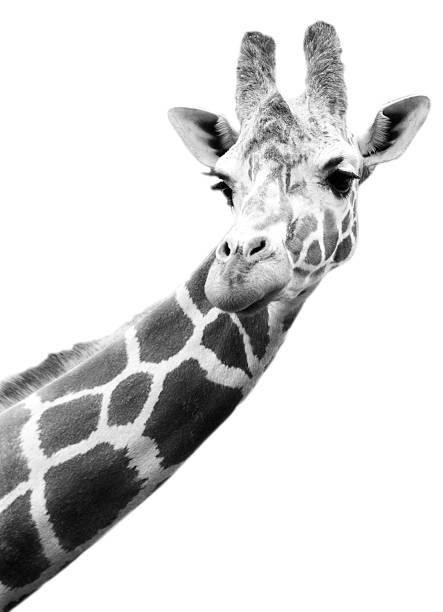 Black And White Portrait Of A Giraffe Wall Art