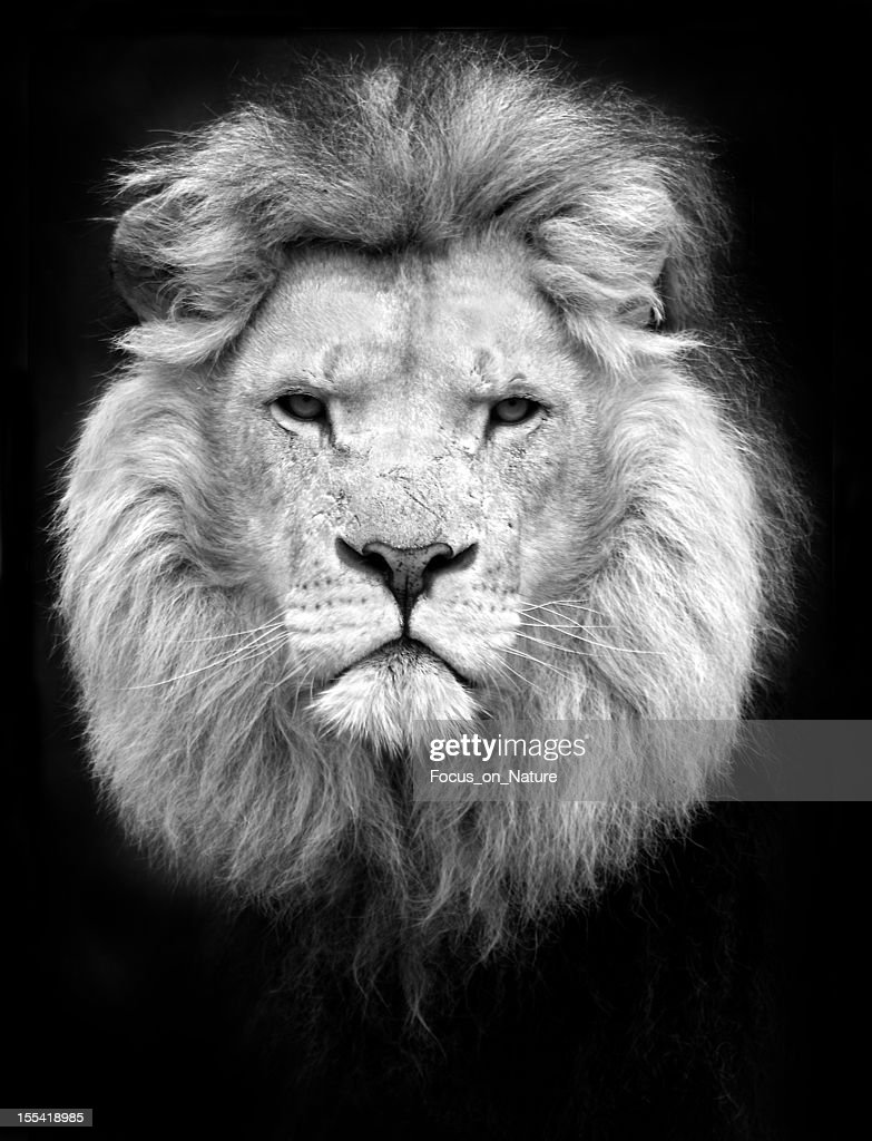 Souvent Lion Stock Photos and Pictures | Getty Images MN94
