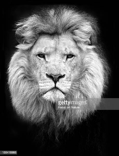 black and white portrait of a lion - lion stockfoto's en -beelden