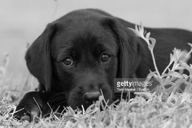 black and white portrait of an 8 week old black labrador puppy sitting in the grass - black and white stock pictures, royalty-free photos & images