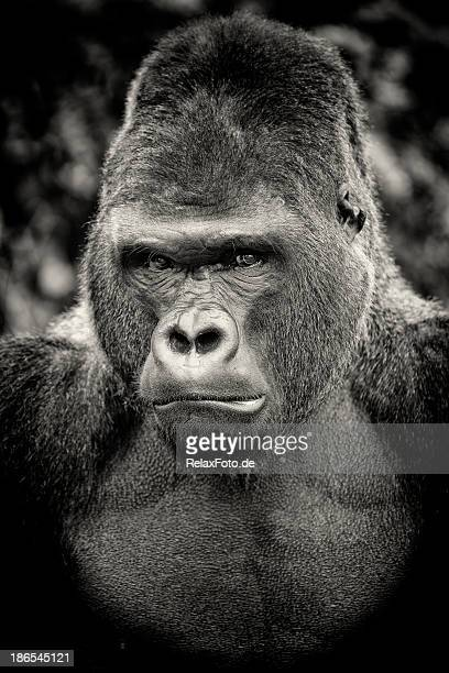 Black and white portrait of angry silverback gorilla