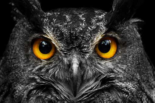 Black and white portrait owl with big yellow eyes 957040296