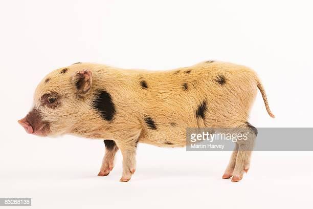 black and white pot-bellied piglet. - um animal - fotografias e filmes do acervo