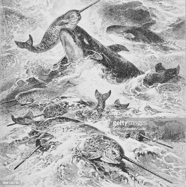 Black and white print depicting a school of narwhals being attacked by a pair of Risso's dolphin surrounded by rough ocean waves 1901 Courtesy...